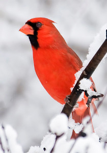 10391-Northern Cardinal - Winter-Shoreview, MN