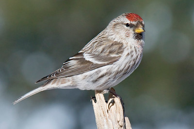 10728 - Common Redpoll