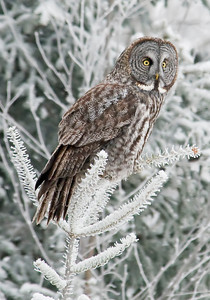 10449-Great Gray Owl-Itasca CR 10, MN