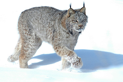 10045-Canadian Lynx-Pine County, MN