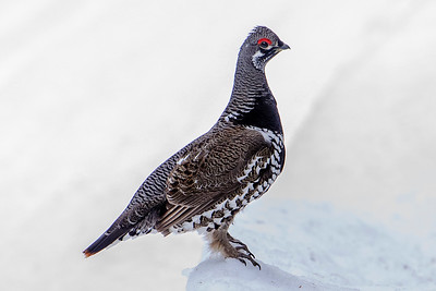 10653 - Spruce Grouse - Scenic State Park - Itasca County, MN