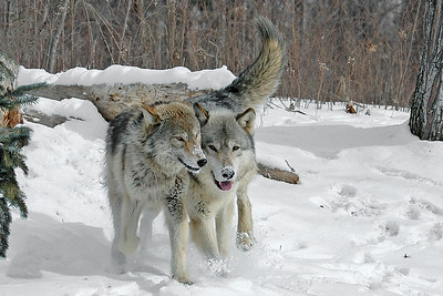 10047 - Gray Wolves