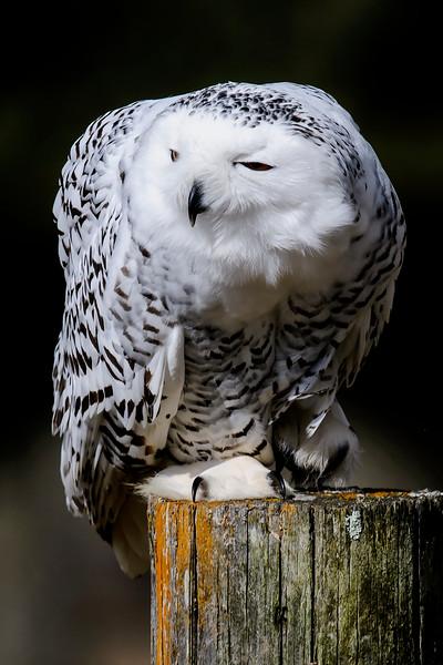 10573 - Snowy Owl - Houston, MN