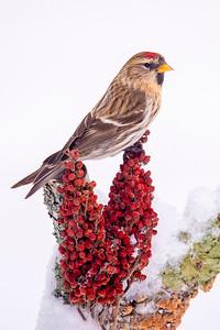 10863-Common Redpoll