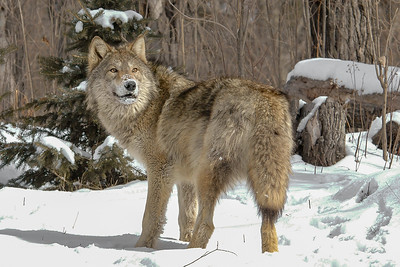 10048-Gray Wolf-Pine County, MN