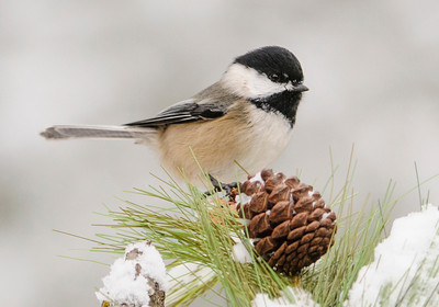 10587-Chickadee-Black-capped-Itasca County, MN