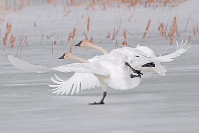 10537 - Trumpeter Swans - Cass County, MN