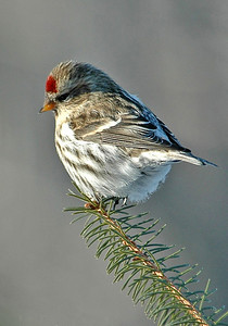 10036-Common Redpoll-Dunning lake, MN