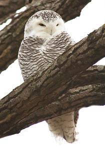 Owl-Snowy-Ramsey County