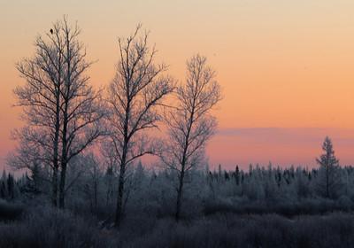 Frosty Sunrise-Sax-Zim Bog