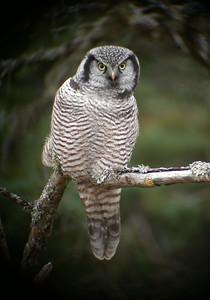 Owl-Northern Hawk-St. Louis County