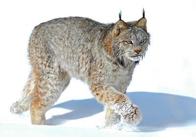 Lynx-Canada-01-Pine County