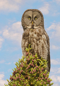 Owl-Great Gray-Itasca County