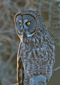 Owl-Great Gray-Carlton County
