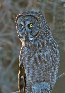 Owl-Great Gray-Carlton County