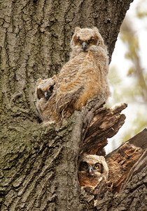 Owl-Great Horned-babies-01-Hennepin County