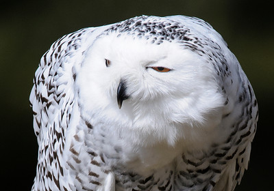 Owl-Snowy-02-Houston County