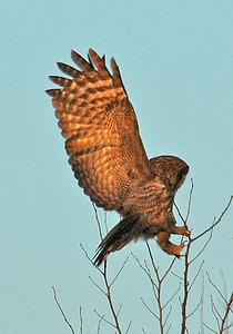 Owl-Great Gray-landing-Carlton County