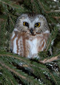 Owl-Northern Saw-whet-Anoka County