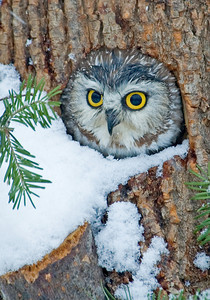 Owl-Northern Saw-whet-02-Houston County