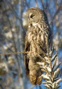 Owl-Great Gray-Sax-Zim Bog
