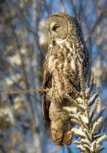Owl-Great Gray-Sax-Zim Bog