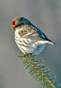Redpoll-Common-Itasca County