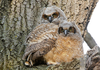 Owl-Great Horned-babies-02-Hennepin County
