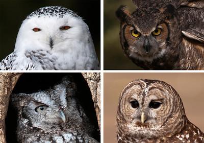 Owls-Houston County