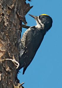 Woodpecker-Black-backed-Gunflint Trail