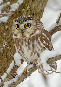 Owl-Northern Saw-whet-01-Houston County