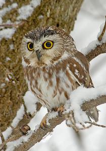 Owl-Northern Saw-whet-01-Houston County