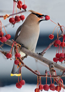 Waxwing-Bohemian-Itasca County