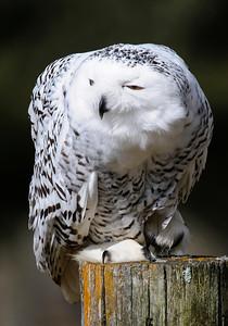 Owl-Snowy-01-Houston County
