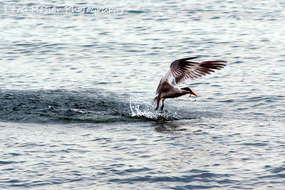 After many unsuccessful attempts, this tern finally snagged a fish.