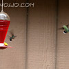 "Hummingbird Dogfight By M.T. Bass<br /> <br />  <a href=""http://www.burningriverboutique.com"">http://www.burningriverboutique.com</a>"