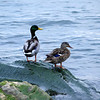 "Quackers by Lora Mosier<br /> <br />  <a href=""http://www.buringriverboutique.com"">http://www.buringriverboutique.com</a>"