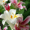 "Evening of the Day(Lilies) by Lora Mosier<br /> <br />  <a href=""http://www.burningriverboutique.com"">http://www.burningriverboutique.com</a>"