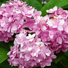 "Hydrangeas by Lora Mosier<br /> <br />  <a href=""http://www.burningriverboutique.com"">http://www.burningriverboutique.com</a>"