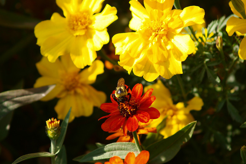 """Marigolds with Bee by Lora Mosier<br /> <br />  <a href=""""http://www.burningriverboutique.com"""">http://www.burningriverboutique.com</a>"""