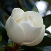 """Magnificent Magnolias by Lora Mosier<br /> <br />  <a href=""""http://www.burningriverboutique.com"""">http://www.burningriverboutique.com</a>"""