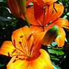 """What's Up, Tiger Lily by Lora Mosier<br /> <br />  <a href=""""http://www.burningriverboutique.com"""">http://www.burningriverboutique.com</a>"""
