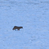 "Coyote on Lake by Lora Mosier<br /> <br />  <a href=""http://www.burningriverboutique.com"">http://www.burningriverboutique.com</a>"