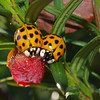 "Luck be a Lady(bug)  by Lora Mosier<br /> <br />  <a href=""http://www.burningriverboutique.com"">http://www.burningriverboutique.com</a>"
