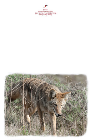 11-35_Coyote-Walking-2