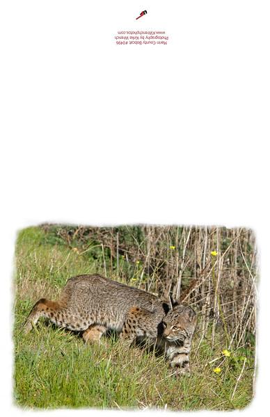 0496_Bobcat