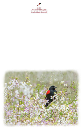 Red-winged_Blackbird-4558