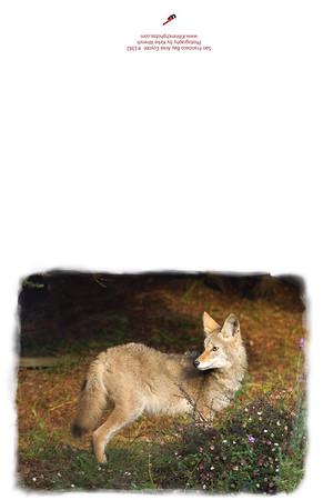 1382-Coyote