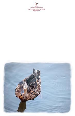11-8_Winking_Duck