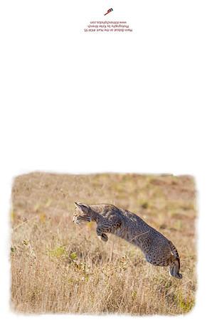KW-95_Bobcat_on_the_Hunt